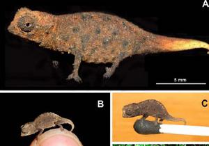 На Мадагаскарі знайшли найменшого хамелеона