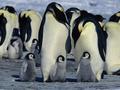 Ученые с помощью спутника провели переучет императорских пингвинов