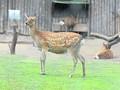 В киевском зоопарке умер пятнистый олень