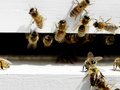 Ученые нашли причину смертельной эпидемии пчел