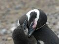 В Бразилии на пляж выбросило сотни мертвых пингвинов