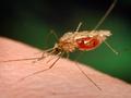 В Германии составляют атлас комаров через интернет
