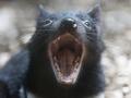 В Австралии из зоопарка сбежали тасманийские дьяволы