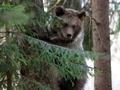В России застрелили не впавшего в спячку медведя