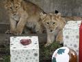 В зоопарке Берлина животных кормят новогодними елками
