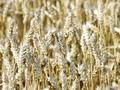 Экспорт украинского зерна вырос почти на 40% - Минагропрод