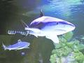 В киевский торговый центр привезли самую большую акулу в Украине