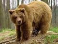 В Ивано-Франковской области во время сбора грибов на мужчину напал медведь