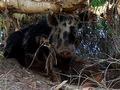 В Австралии дикую свинью обвинили в краже пива