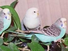 Но в птенцовом возрасте (до...  Итак Вы решили купить попугая.