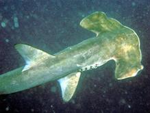 Рыбы хрящевые - Кархаринообразные - Акулы молотоголовые - АКУЛА-МОЛОТ.