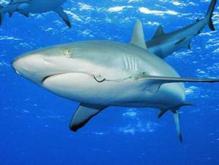 В Австралии две акулы напали на ныряльщика.