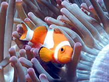 Clown fish swimming among anemone.  Download free Nature/Landscape wallpaper Clown Fish for mobile phones.