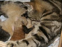 Отвергнутых детенышей красной панды усыновила кошка