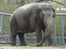 В зоопарке будет отсутствовать слон