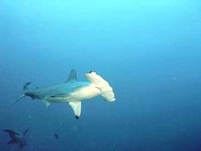 акула-молот длиной до 5,50 м.