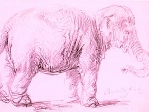 В Африке впервые обнаружен розовый слоненок