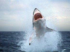 Как и у других акул, зубы у белой акулы