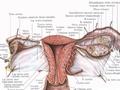 652. Матка, uterus, маточная труба, tuba uterina...