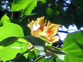 В ботсаду расцвело тюльпановое дерево