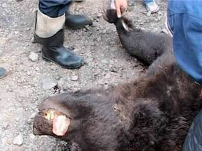 Безоружная сибирячка обратила в бегство медведя.