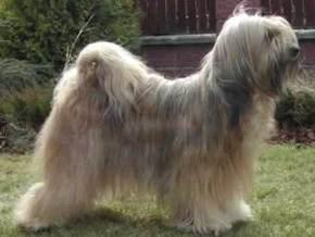Описание: Породы собак: Тибетский терьер, Фотография.