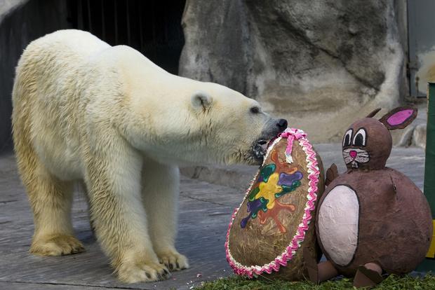 В Буэнос-Айресе скончался символ зоопарка - белый медведь