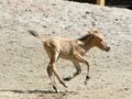 Я - маленькая лошадка. В киевском зоопарке родился жеребенок лошади Пржевальского