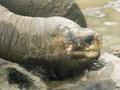 Вымерший вид. Скончалась последняя гигантская галапагосская черепаха