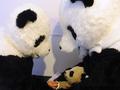В образе панды. Перевоплощение китайских зоологов