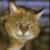 Камышевый кот